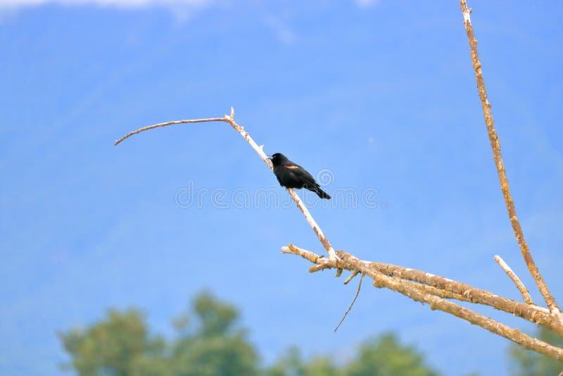 Profilo sinistro di Wing Blackbird Singing rosso fotografia stock libera da diritti