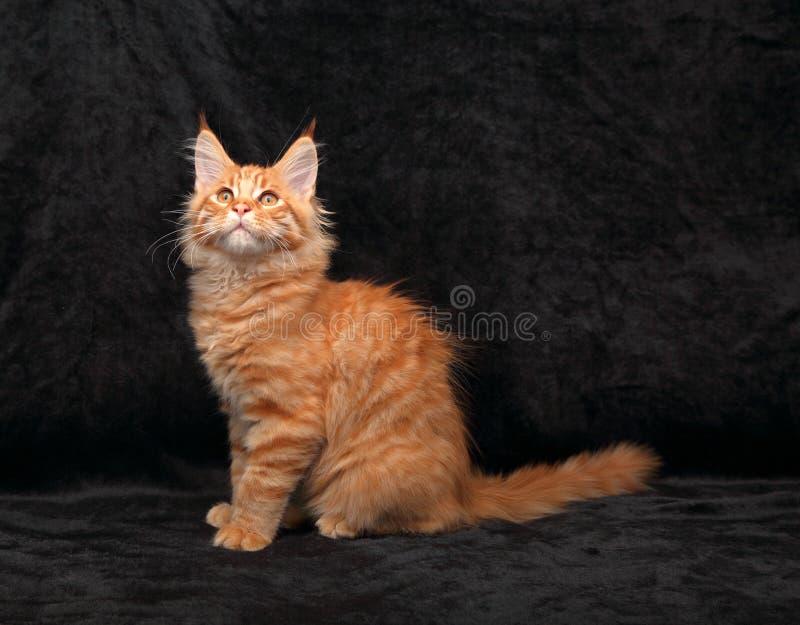 Profilo solido rosso del gattino del procione lavatore della Maine di divertimento adorabile che si siede con il lo fotografia stock