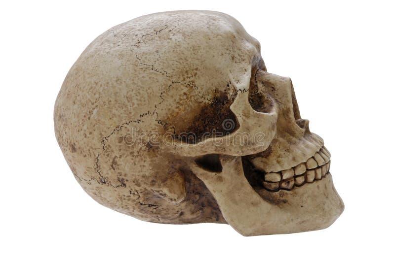 profilowa istoty ludzkiej czaszka fotografia royalty free