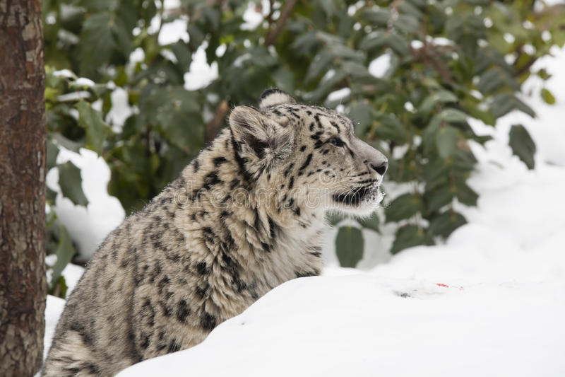 Profilowy Śnieżnego lamparta lisiątko w śniegu i drzewach obrazy stock