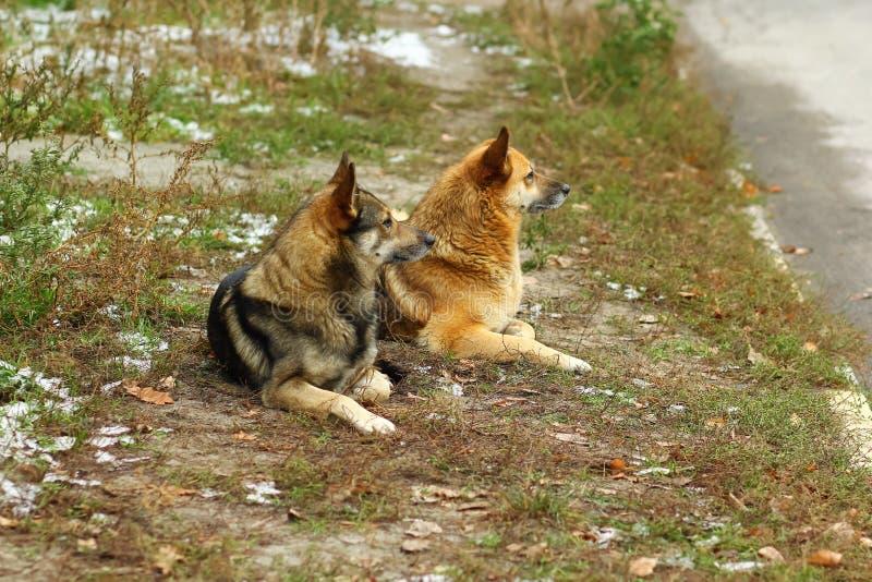 Profilowy portret przybłąkani psy patrzeje ten sam kierunek obraz stock