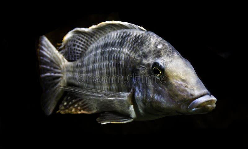 Profilowy portret ryba na czerni obrazy stock