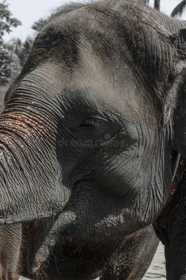 Profilsikt av den enorma Sumatra elefanten som försöker att nå något med hans stam arkivbilder