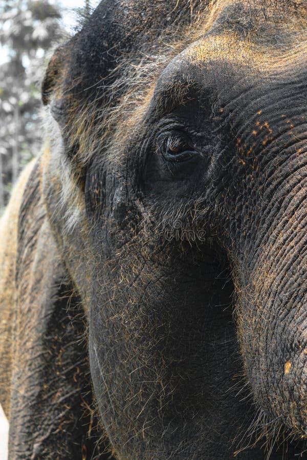 Profilsikt av det enorma Sumatra elefanthuvudet royaltyfria foton