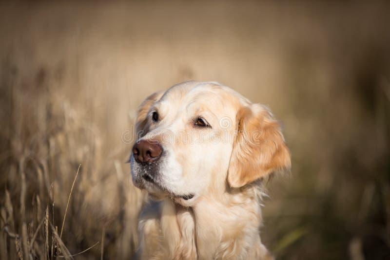 Profilstående av den förtjusande beigea hundavelgolden retriever som sitter i det vissna rågfältet i höst royaltyfri fotografi