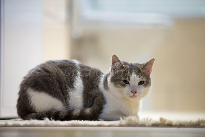 Profilstående av den unga trevliga lilla gulliga smarta vita och gråa kattungen för inhemsk katt med att le uttryck på vitt kopie royaltyfri bild
