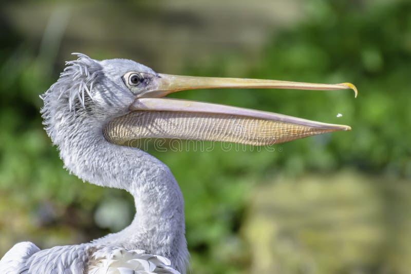 Profilstående av pelikan arkivbild