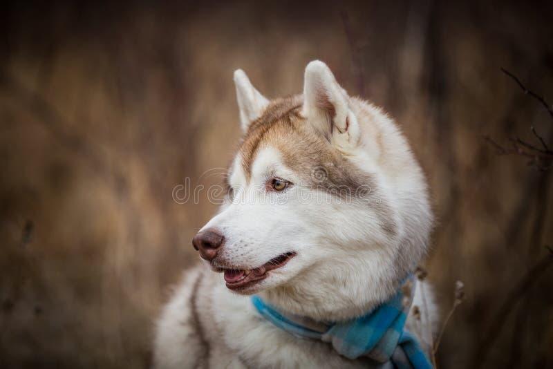Profilstående av ursnyggt och fritt skrovligt sitta för hundavelsiberian i den blåa rutiga halsduken i fältet royaltyfria bilder