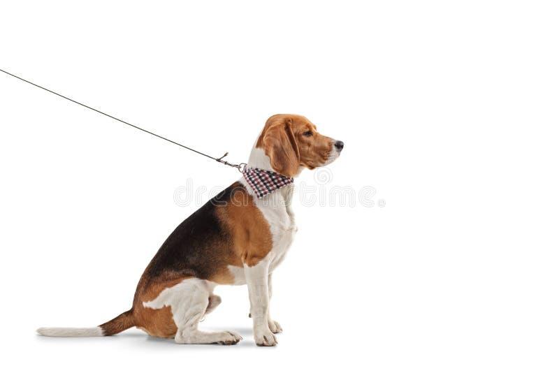Profilu strzał beagle pies na smyczu z szalikiem na smyczu fotografia royalty free