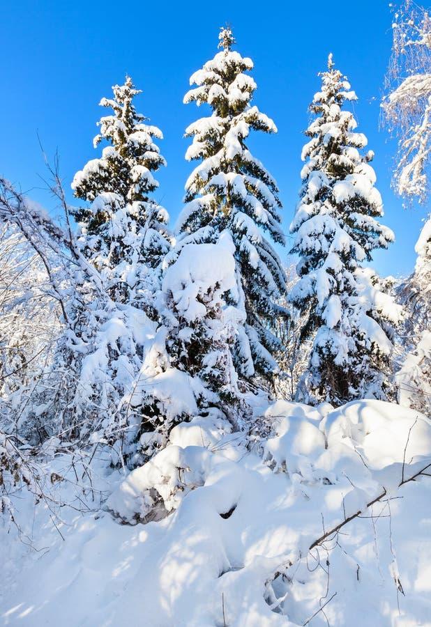 Profondità della foresta di inverno con gli abeti rossi fotografia stock