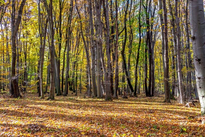 Profundamente en bosque colorido del otoño en noviembre, Bratislava, Eslovaquia foto de archivo