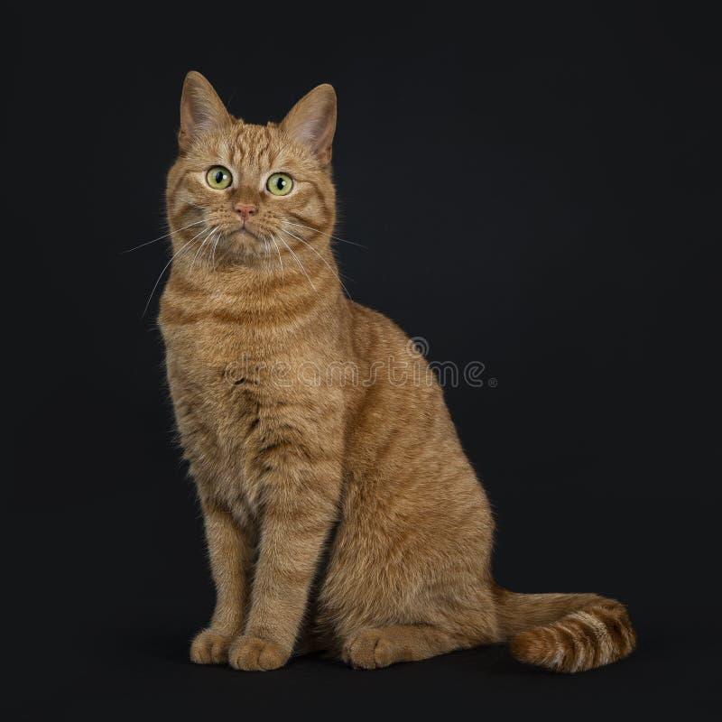 Profundamente - europeu vermelho Shorthair/gato da rua que senta-se isolado em linha reta no fundo preto que olha a câmera imagens de stock royalty free