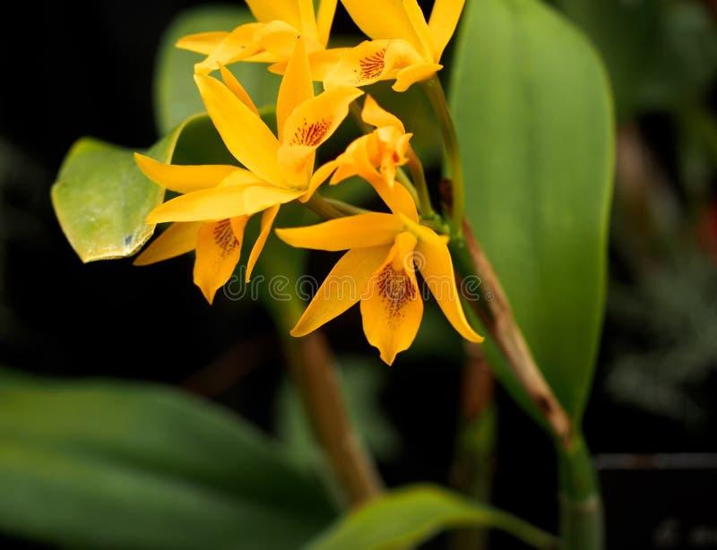 Profundamente - orquídea amarela e vermelha do Dendrobium imagem de stock royalty free