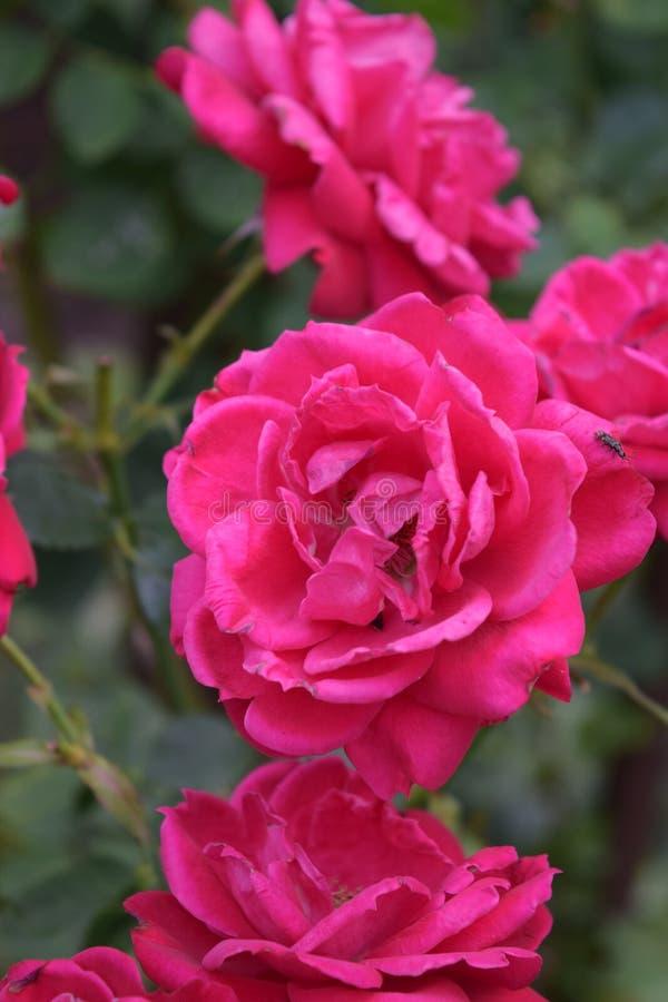 Profundamente - rosas cor-de-rosa fotografia de stock
