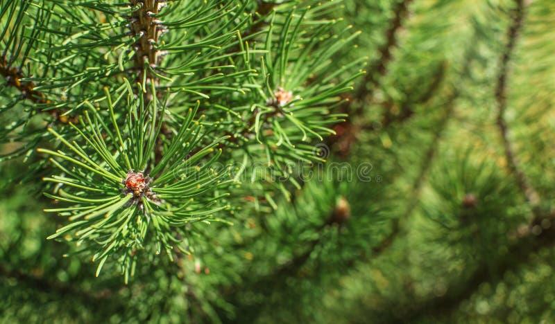 Profundidad baja de la foto del campo - ramas jovenes del abeto en primavera imágenes de archivo libres de regalías