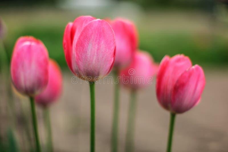 Profundidad baja de la foto del campo, solamente un pétalo en el foco, flores rosadas jovenes de los tulipanes Fondo florido de l fotos de archivo libres de regalías
