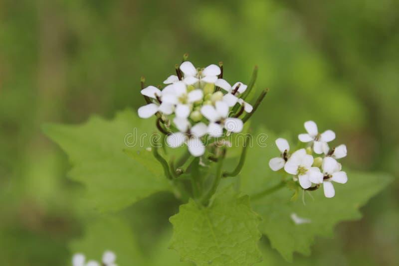 Profundidad baja de las flores blancas del campo imágenes de archivo libres de regalías