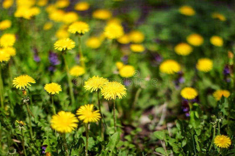 Profundidad muy baja de la foto del campo solamente pocas flores en el foco YE imagen de archivo