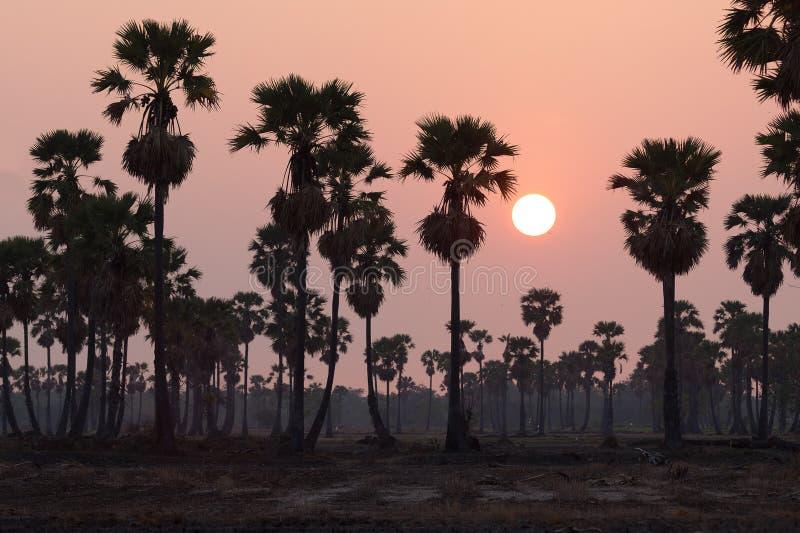 Profundidade da árvore do Toddy ou do Sugar Palm da silhueta do campo no campo em t imagem de stock