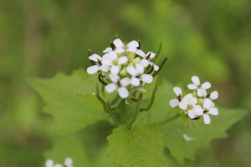 Profundidade de flores brancas de campo rasa imagens de stock royalty free