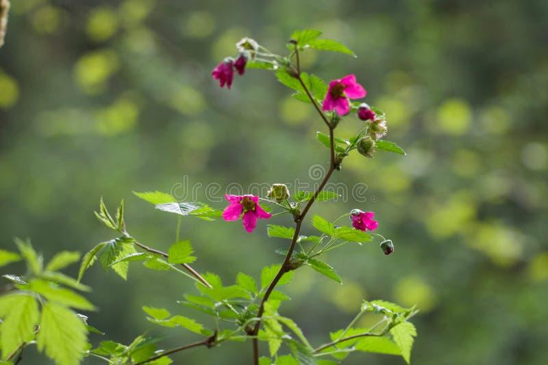 Profundo - as flores cor-de-rosa da baga de salmões estão para fora contra o fundo verde das folhas ao longo do rio de Goldstream imagem de stock royalty free