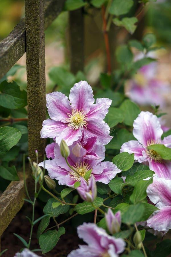 Profundo bonito - rosa, clematite roxa da flor no jardim imagem de stock royalty free