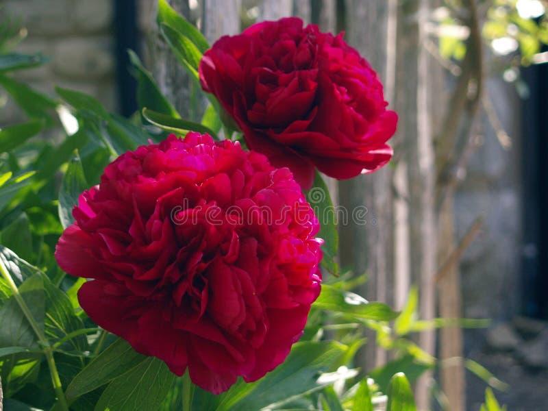 Profundo - flores vermelhas da pe?nia imagens de stock royalty free