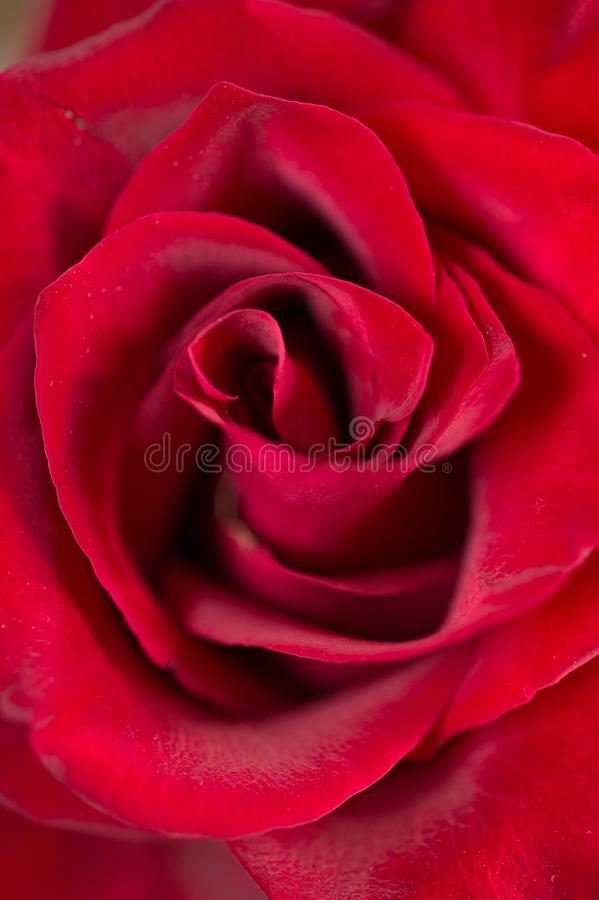 Profundo - fundo cor-de-rosa vermelho Tiro macro foto de stock