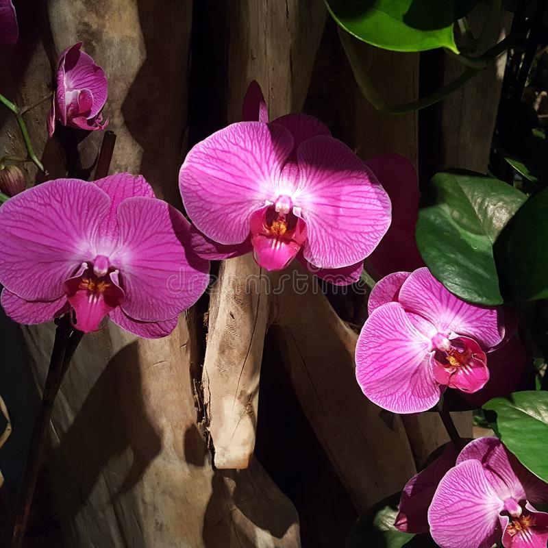 Profundo - orquídeas ensolarados cor-de-rosa foto de stock royalty free