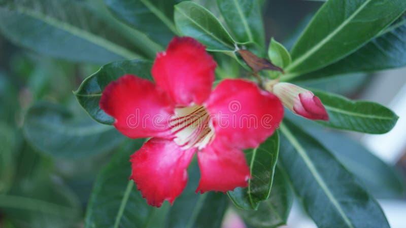 Profundo - rosa vermelha da sobremesa foto de stock