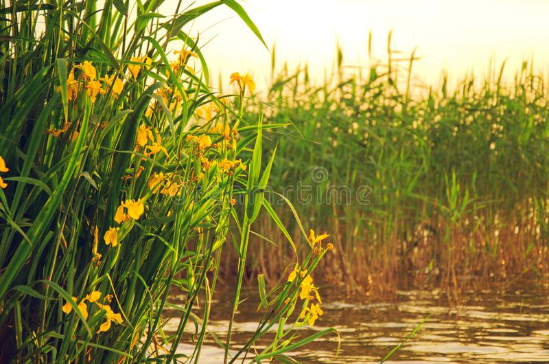 Profusely blooming wild swamp irises near the water royalty free stock photos