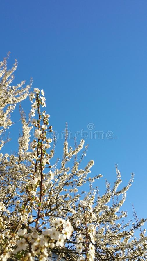 Profusion of Blossoms against a Blue Sky royalty free stock photography
