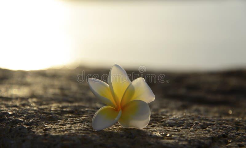Progettazione del confine dei fiori di plumeria del frangipane fotografia stock