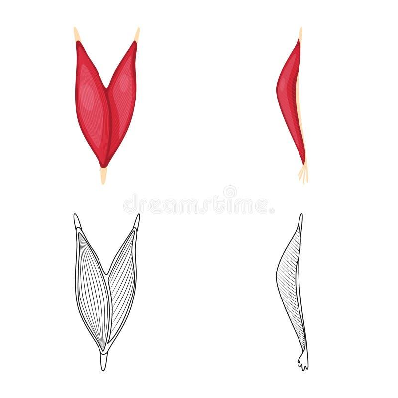 Progettazione di vettore di fibra e dell'icona muscolare Metta dell'icona di vettore del corpo e della fibra per le azione illustrazione di stock