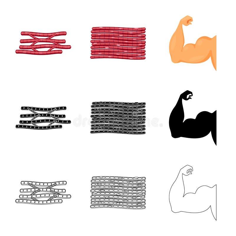 Progettazione di vettore di fibra e dell'icona muscolare Raccolta del simbolo di riserva del corpo e della fibra per il web illustrazione di stock
