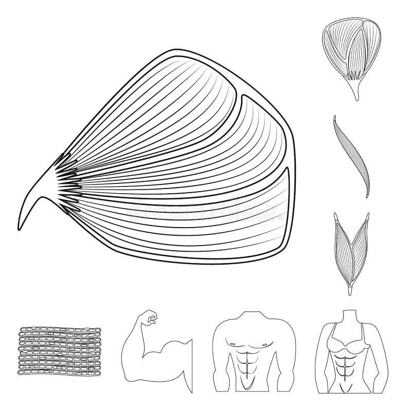 Progettazione di vettore di fibra e dell'icona muscolare Raccolta dell'illustrazione di vettore delle azione del corpo e della fi illustrazione vettoriale