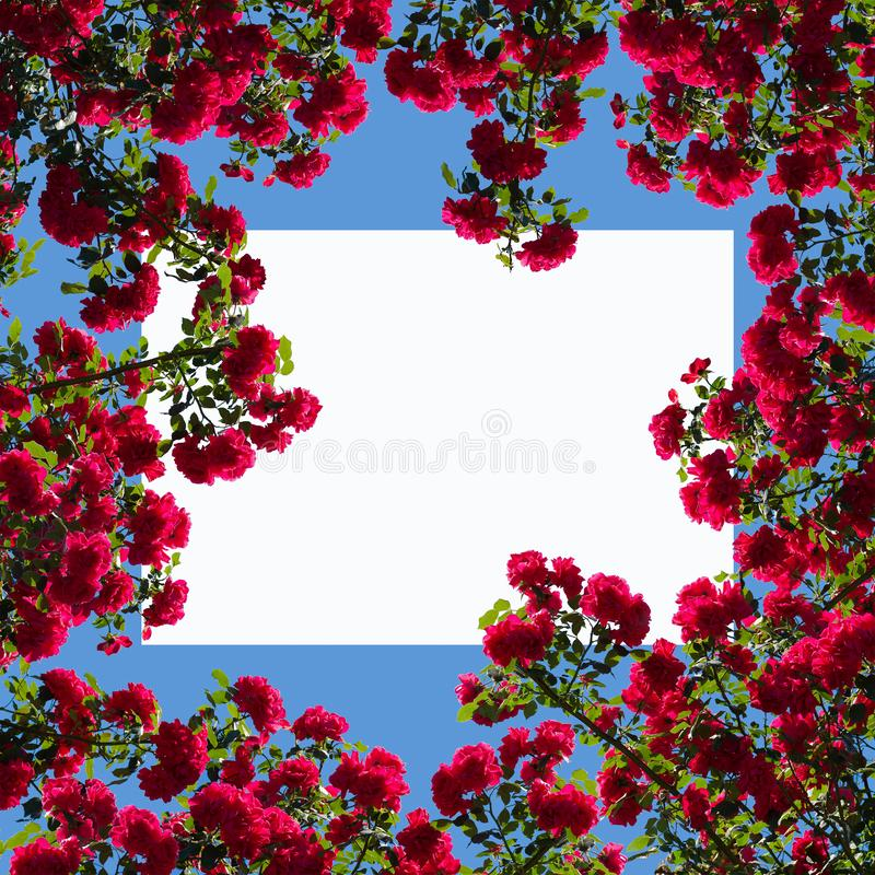 Progettazione pagina della struttura con le rose rosa e lo spazio bianco della copia fotografia stock libera da diritti