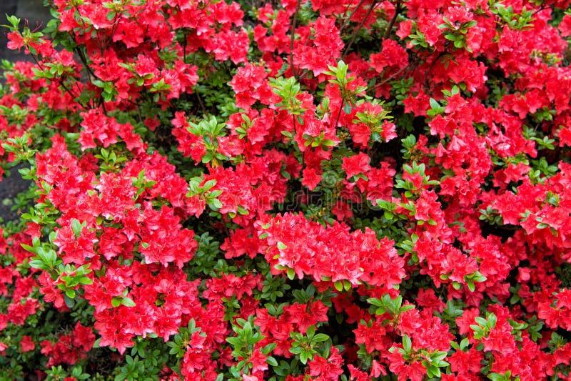 Progetti la vostra estate con stile Fioritura di estate Cespuglio di fioritura nel giardino di estate Fiori rossi che sbocciano i fotografie stock libere da diritti
