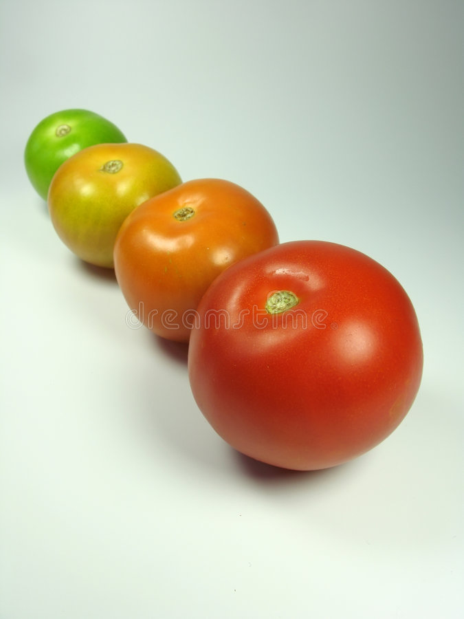 Progress of tomatoes maturing. Progress of four tomatoes maturing royalty free stock photography