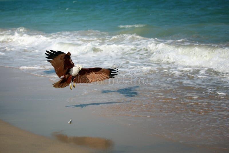 Proie de attaque d'Eagle sur le bord de la mer photo libre de droits