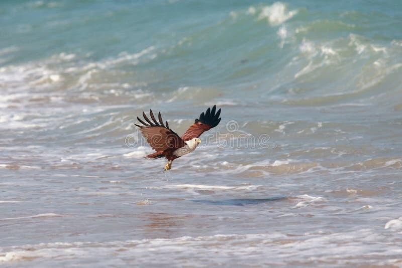 Proie de attaque d'Eagle sur le bord de la mer photos libres de droits
