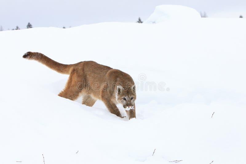 Proie de chasse de puma dans la neige photos libres de droits
