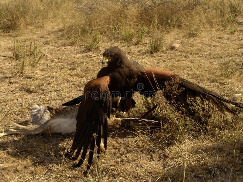 Proie de combat du faucon de Harris photographie stock