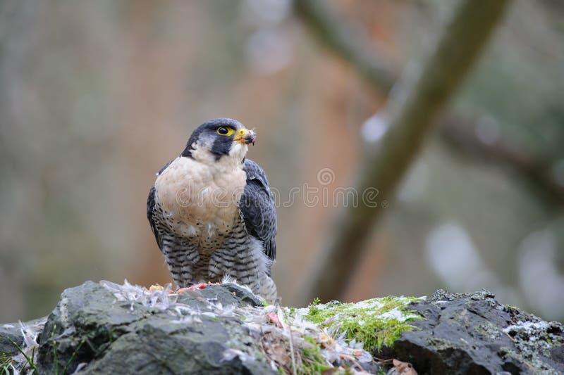Proie violente de Peregrine Falcon photographie stock