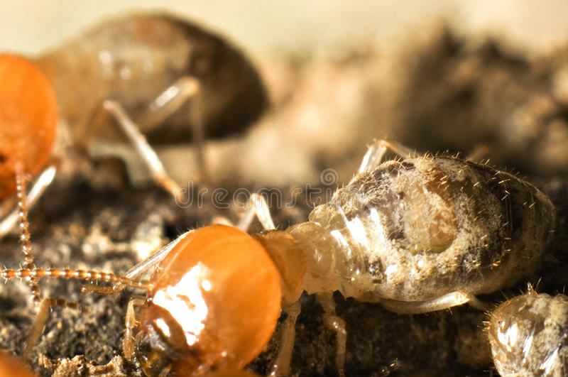 Projectile d'instruction-macro de termite photo stock