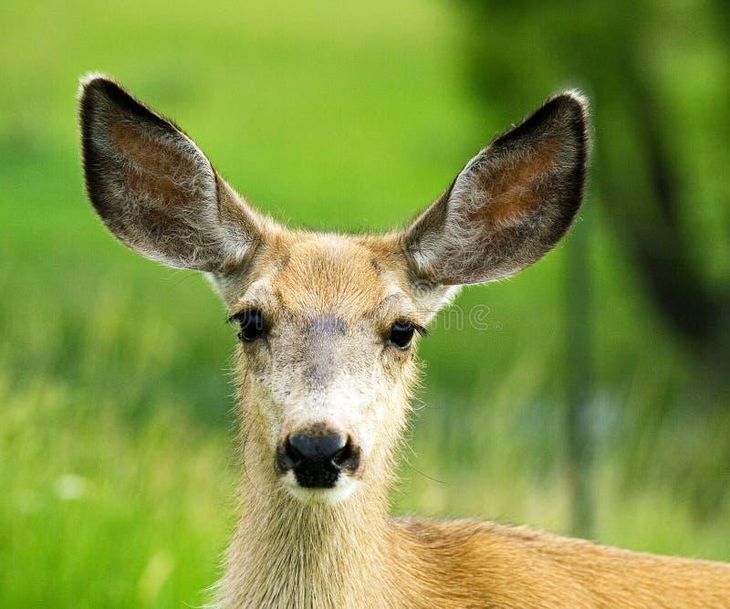 Projectile de tête de daine de cerfs communs de mule images libres de droits