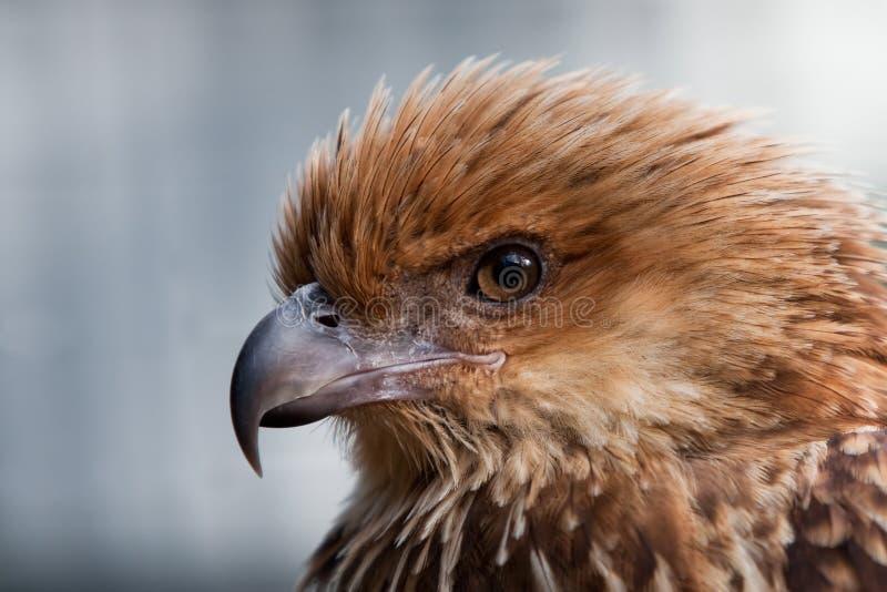 Projectile principal d'oiseau siffleur de rapace de cerf-volant. photo stock