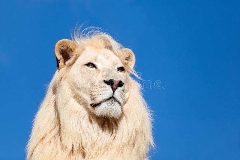 Projectile principal Portait de ciel bleu de lion blanc majestueux image libre de droits
