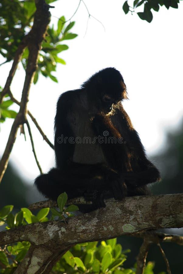 Projecto do macaco de aranha foto de stock