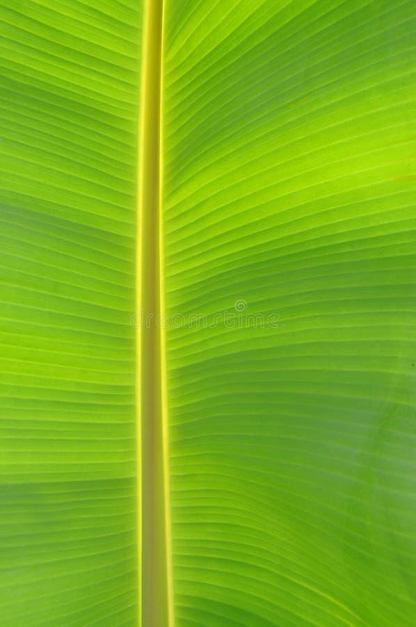 projekta bananowy liść fotografia royalty free